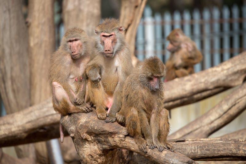 Famiglia delle scimmie del babbuino che giocano nel gruppo immagine stock libera da diritti