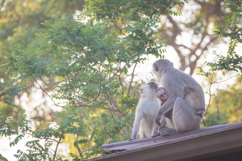 Famiglia delle scimmie di Vervet fotografia stock libera da diritti