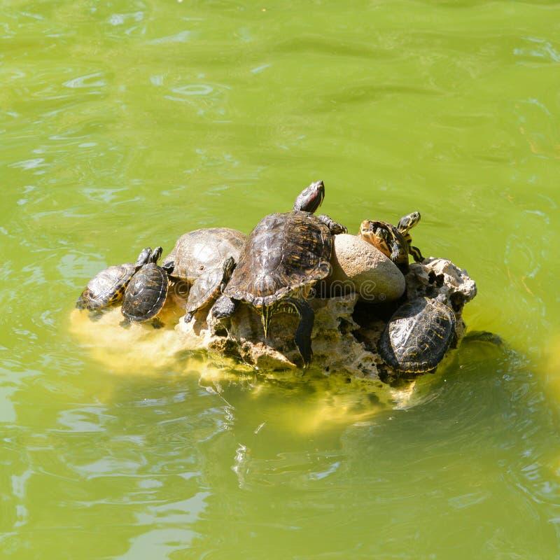 Famiglia delle tartarughe in uno stagno fotografia stock libera da diritti