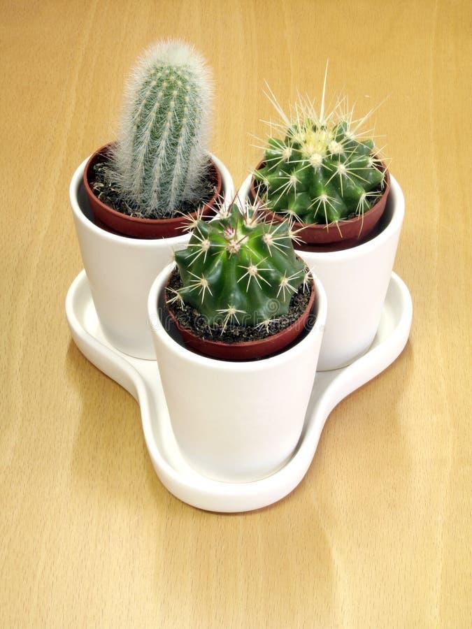 Famiglia di cactus bella fotografia stock
