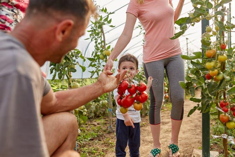 Famiglia di contadini che raccoglieva pomodori fotografia stock libera da diritti