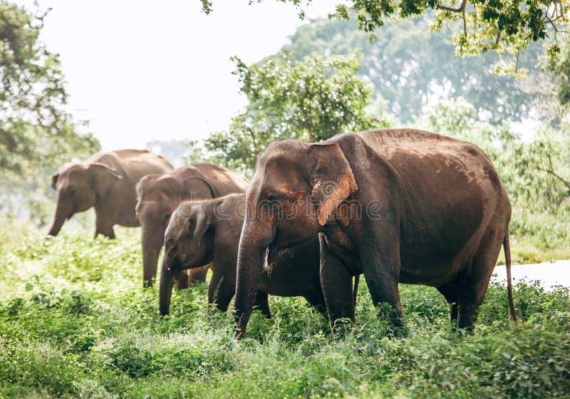 Famiglia di Elefants vicino allo stagno nel parco naturale nazionale Udawalawe, immagine stock