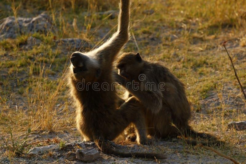 Famiglia di Olive Baboons che pulisce un prurito nel sole fotografie stock libere da diritti