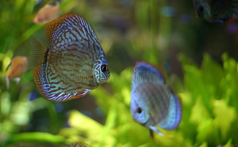 Famiglia di pesci del Discus immagini stock libere da diritti