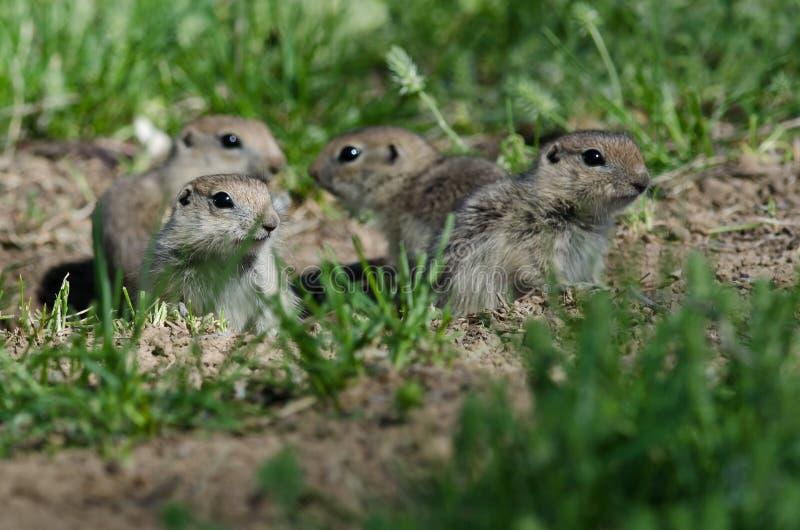 Famiglia di piccoli scoiattoli a terra ragruppati intorno al loro foro immagini stock libere da diritti