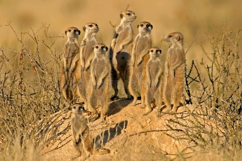 Famiglia di Suricate (meerkat)