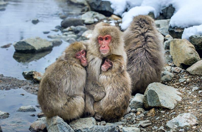 Famiglia giapponese dei macachi che si riscalda contro nel tempo freddo di inverno Il nome scientifico del macaco giapponese: Mac fotografie stock