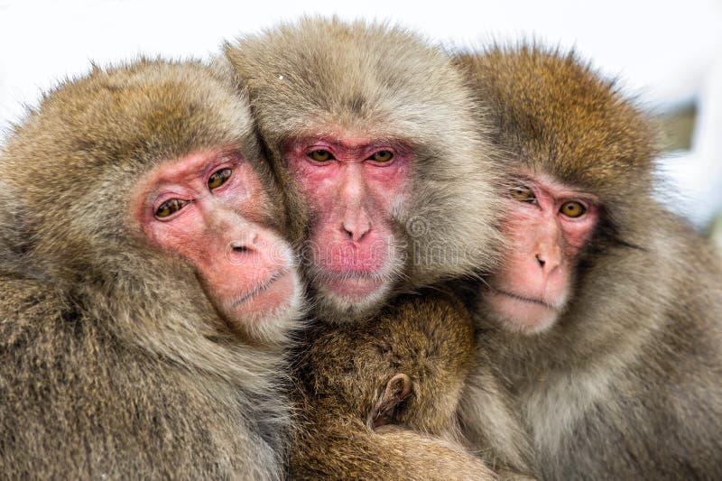 Famiglia giapponese dei macachi che si riscalda contro nel tempo freddo di inverno Il nome scientifico del macaco giapponese: Mac fotografia stock libera da diritti