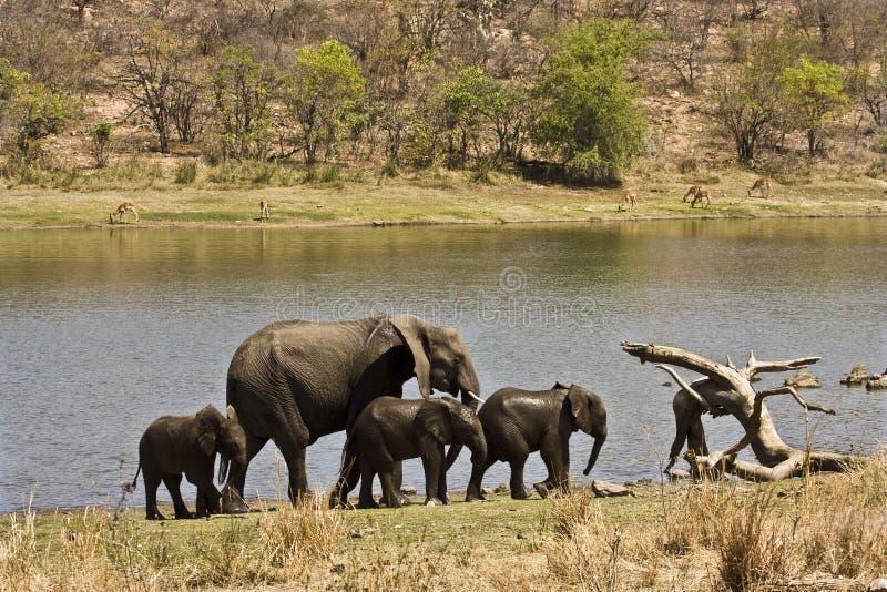 Famiglia selvaggia sulla sponda del fiume, parco nazionale di Kruger, SUDAFRICA degli elefanti fotografie stock