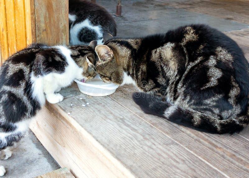 Famiglia senza tetto dei gatti, della mamma, del papà e del figlio mangiare latte immagini stock