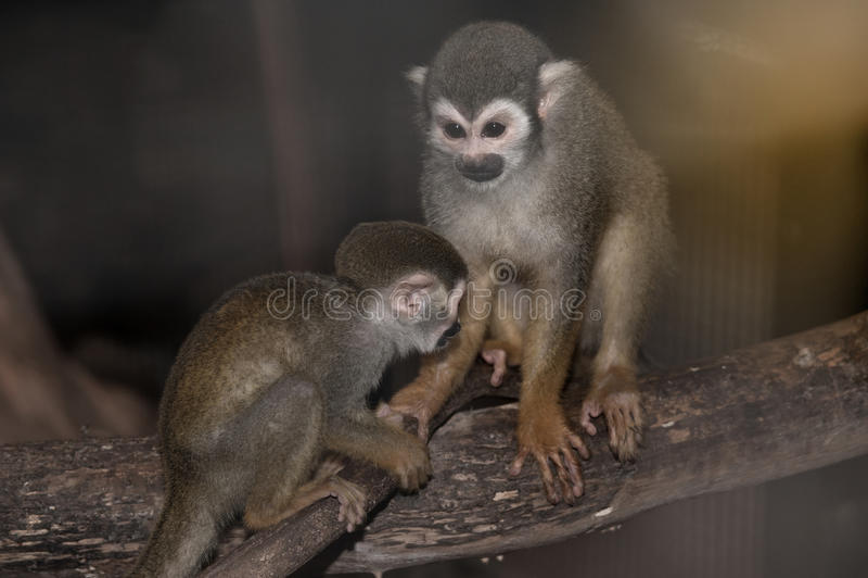 Famiglia stupefacente delle scimmie scoiattolo con un bambino sull'albero immagini stock libere da diritti