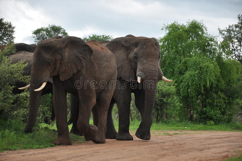 Famiglia Zimbabwe dell'elefante africano fotografia stock libera da diritti