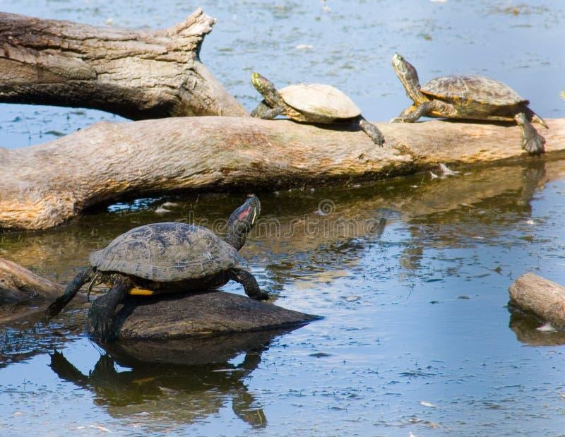 Familia 2 de la tortuga foto de archivo