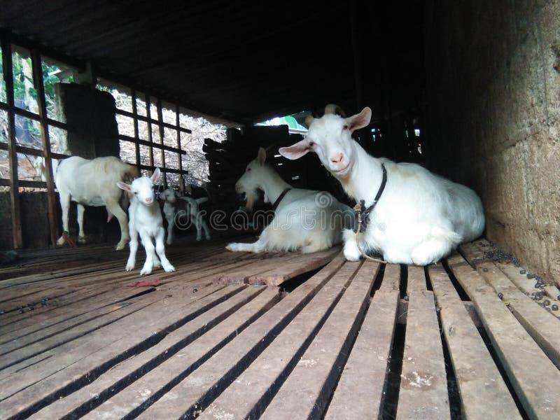 familia agradable de la cabra de foto natural srilanquesa imagenes de archivo