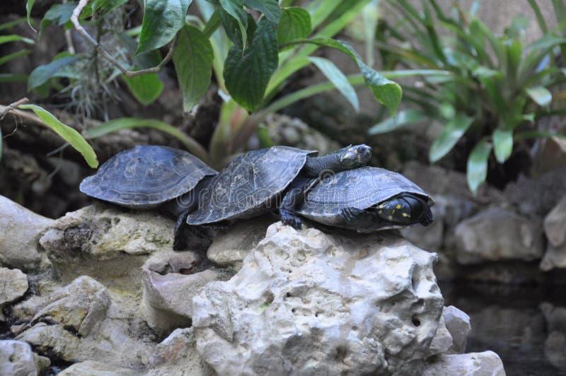 Familia amistosa de la tortuga fotografía de archivo libre de regalías