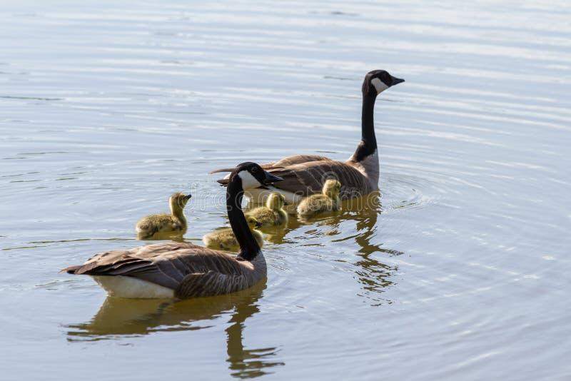 Familia canadiense de los gansos foto de archivo libre de regalías