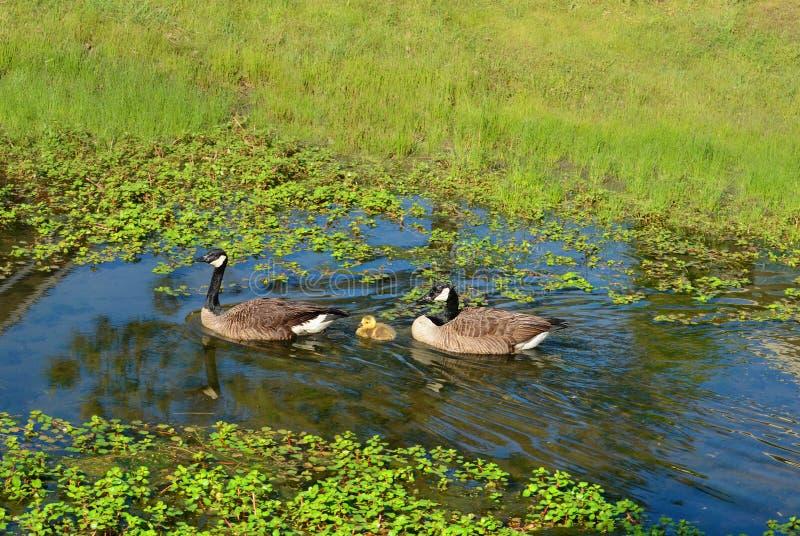 Familia canadiense de los gansos con los anadones del bebé que nadan en una corriente fotos de archivo libres de regalías