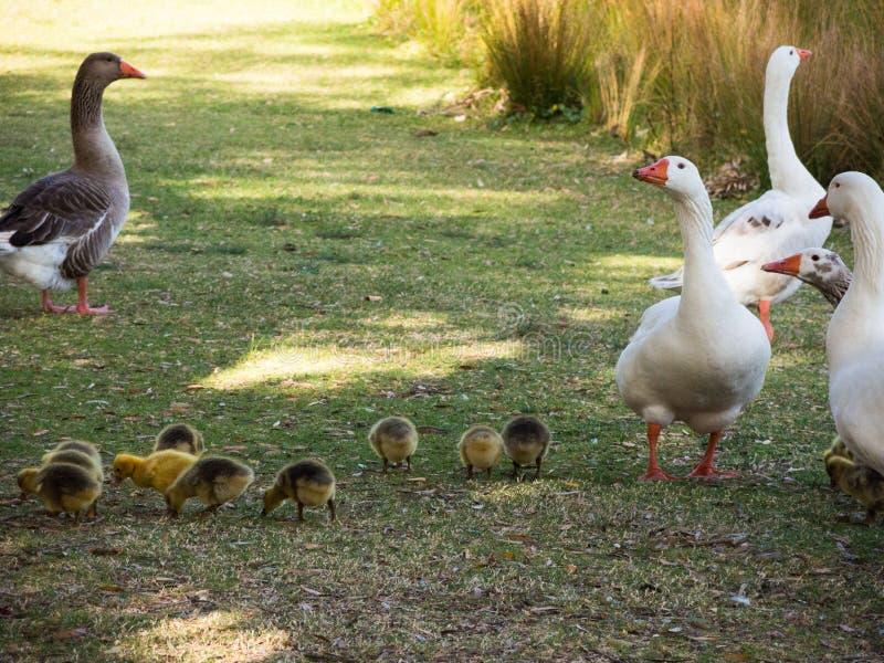 Familia con un manojo de su bebé que camina cerca del lago en el parque centenario, Sydney, Australia del ` s de los gansos fotos de archivo
