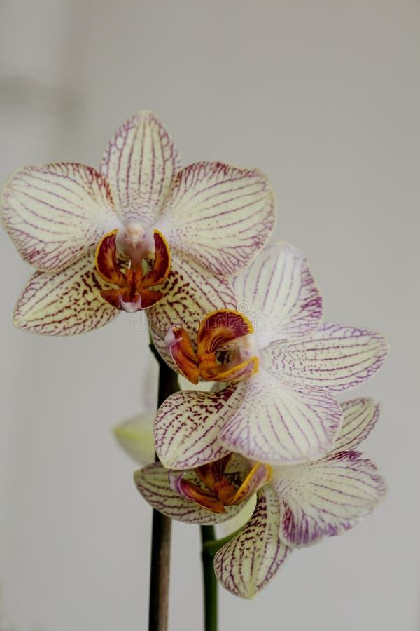 Familia de alta calidad del Orchidaceae de la galería de la bella arte de las impresiones de las orquídeas de los papeles pintado imagenes de archivo