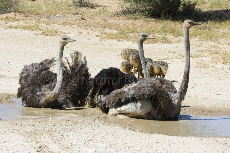Familia de avestruces que tienen un baño en el sol caliente del Kalahari imagenes de archivo