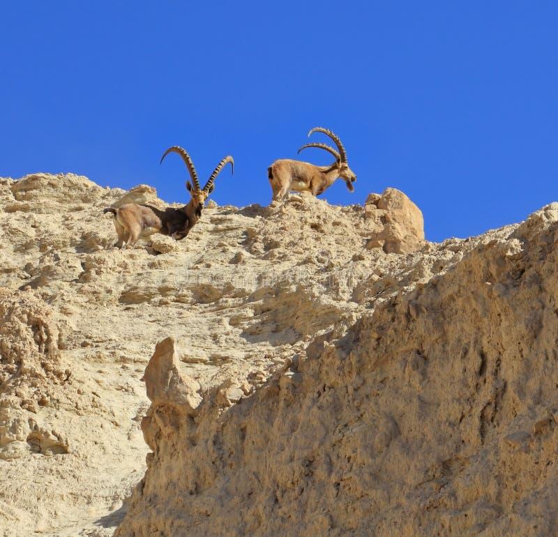 Familia de cabras de montaña con los claxones doblados enormes imagen de archivo