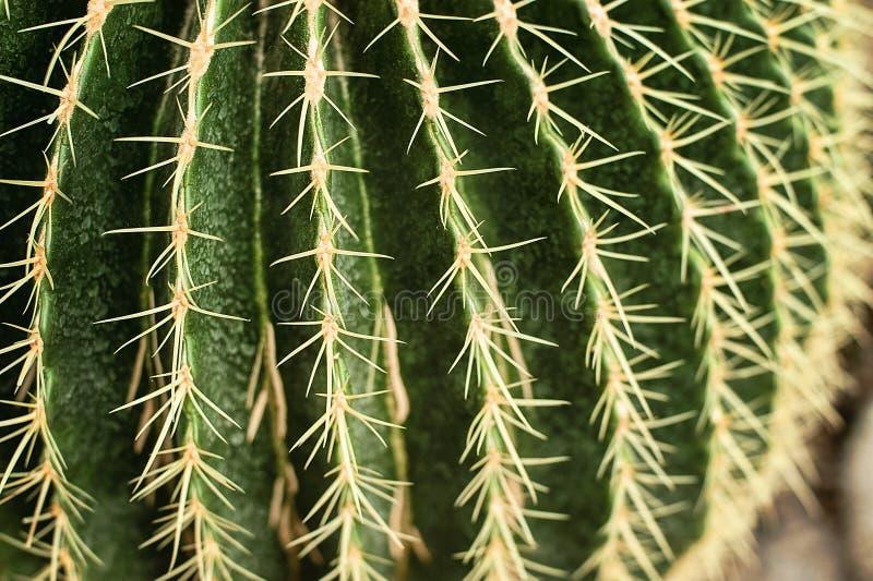 Familia de cactus, cactus de barril del primer fotografía de archivo libre de regalías
