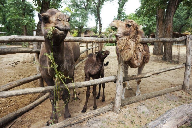 Familia de camellos imagen de archivo libre de regalías