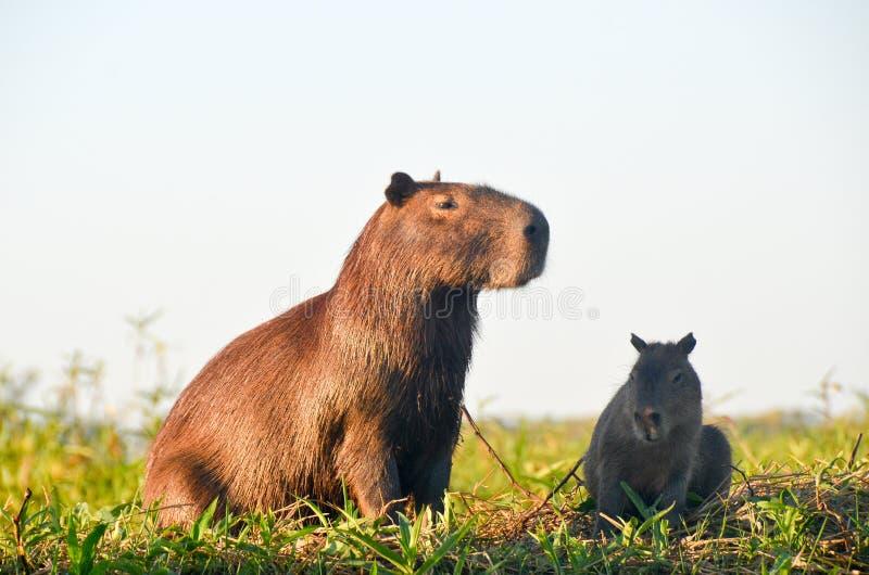 Familia de Capibara imagenes de archivo