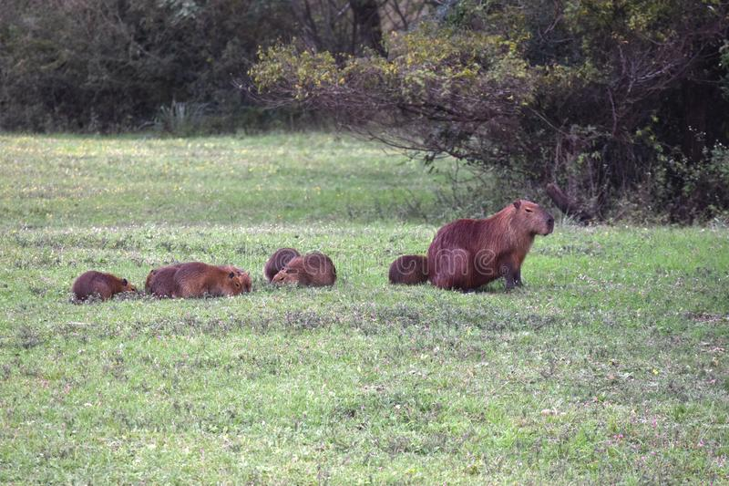Familia de capybaras en el grande lago Salto fotos de archivo