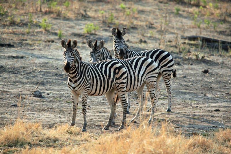 Familia de cebra que se coloca en la sabana africana imagen de archivo