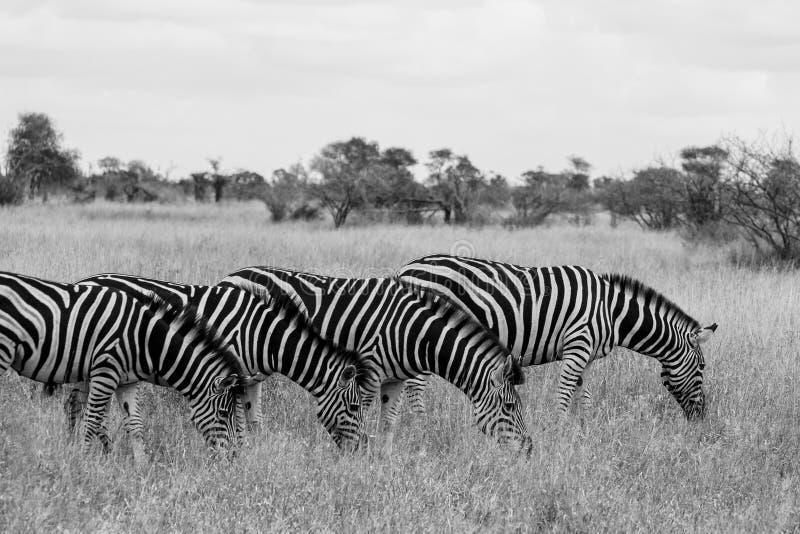 Familia de cebras que comen la hierba, fotografiada en monocromo en el parque nacional de Kruger en Sur?frica foto de archivo libre de regalías