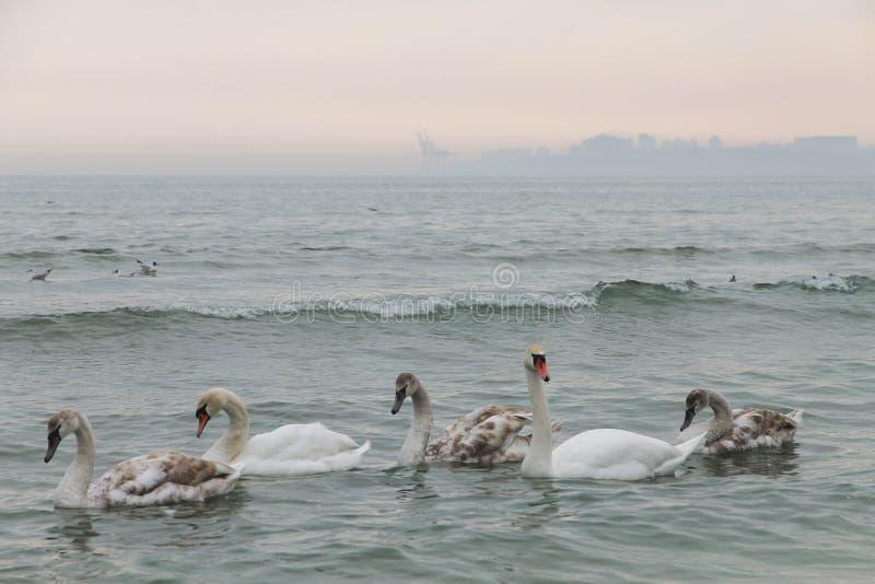 familia de cisnes que nadan en el Mar Negro odessa fotografía de archivo libre de regalías