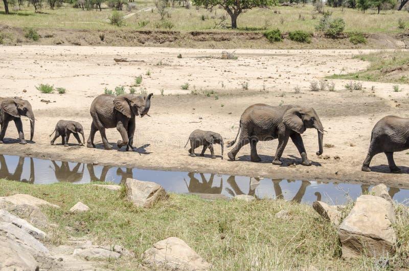 Familia de elefants fotografía de archivo