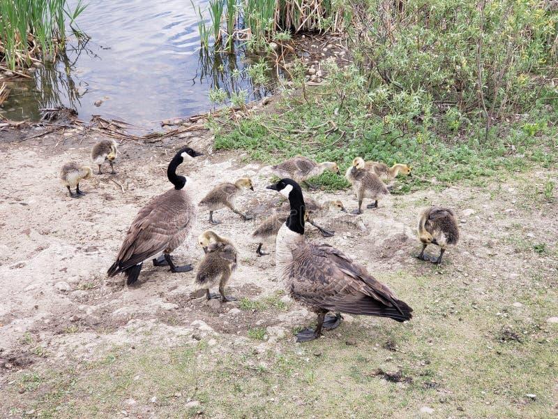 Familia de gansos de Canad? fotos de archivo