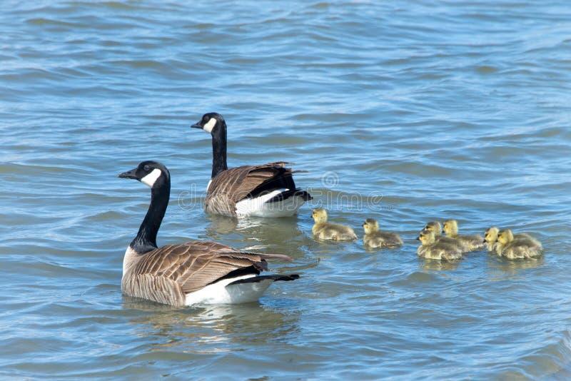 Familia de gansos de Canadá que nadan en agua tranquila imagenes de archivo