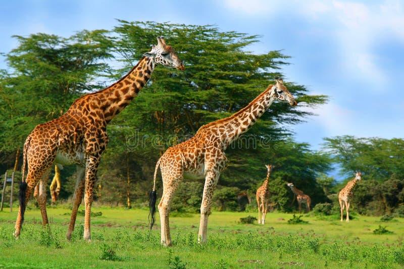 Familia de jirafas salvajes imágenes de archivo libres de regalías