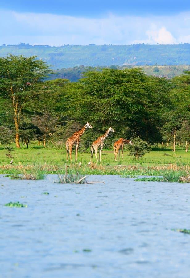 Familia de jirafas salvajes imagen de archivo libre de regalías