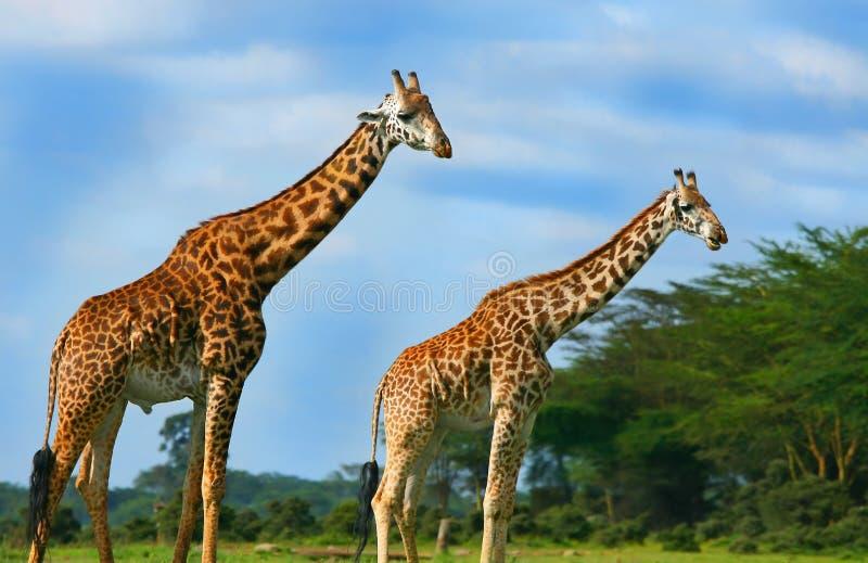 Familia de jirafas salvajes imagen de archivo