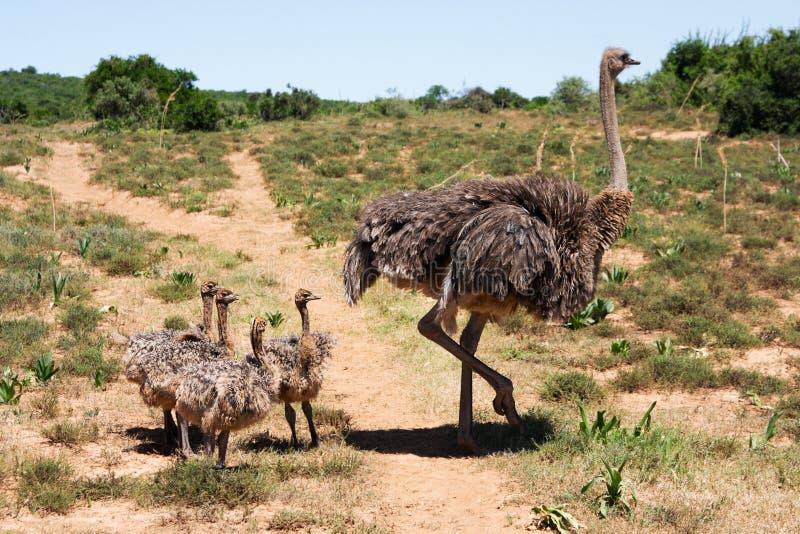 Familia de la avestruz foto de archivo libre de regalías