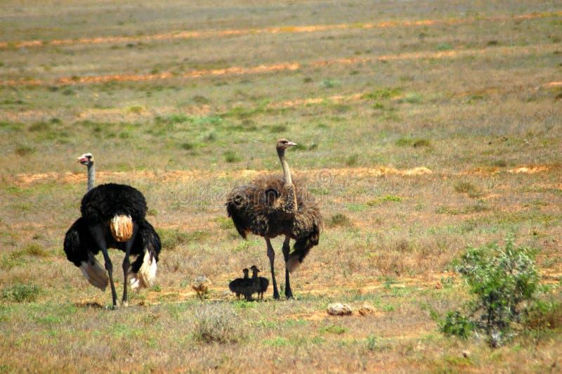 Familia de la avestruz fotografía de archivo