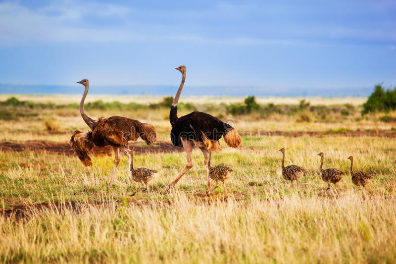 Familia de la avestruz en la sabana, Amboseli, Kenia foto de archivo
