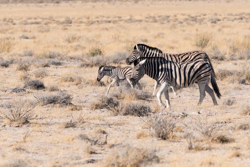 Familia de la cebra en el parque nacional de Etosha, Namibia fotos de archivo libres de regalías