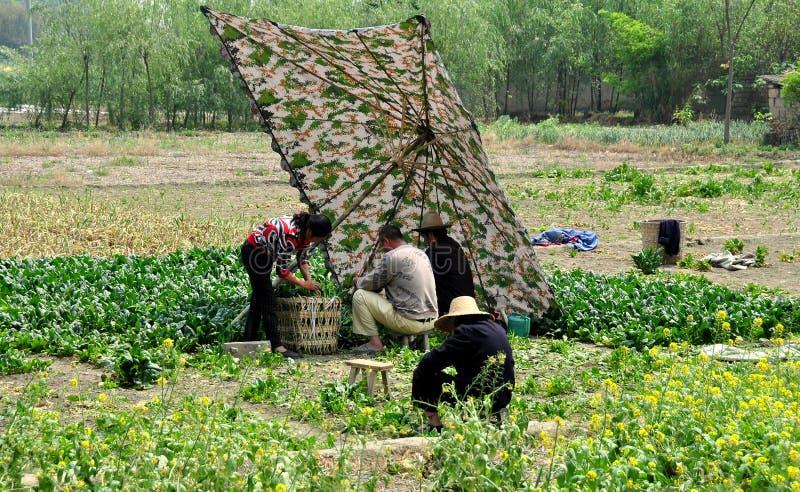 Pengzhou, China: Familia de la granja que cosecha espinaca imagen de archivo
