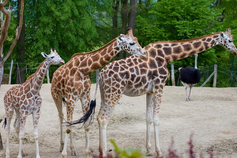 Familia de la jirafa en parque zoológico fotografía de archivo