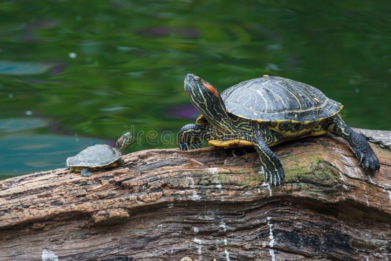 Familia de la tortuga que tiene resto en el parque imagen de archivo
