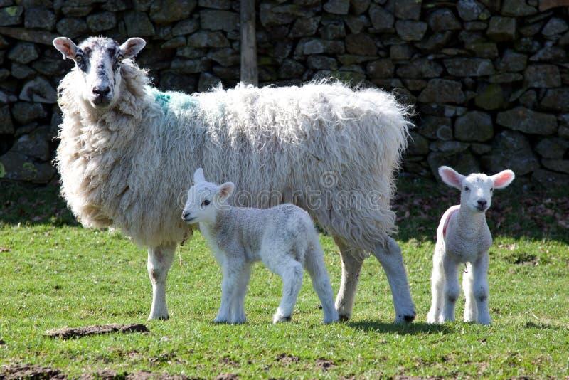 Familia de las ovejas imagen de archivo