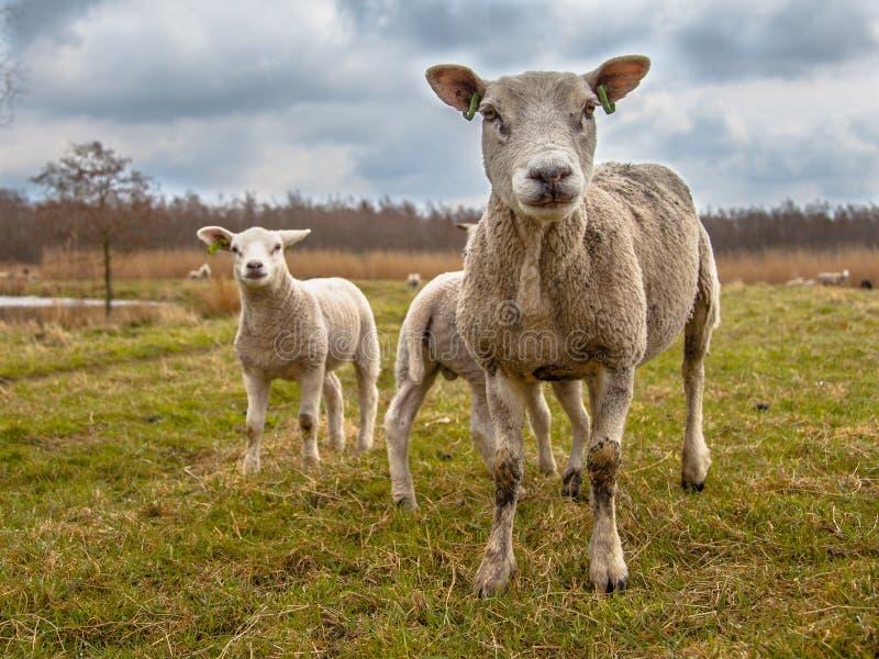 Familia de las ovejas blancas imagenes de archivo