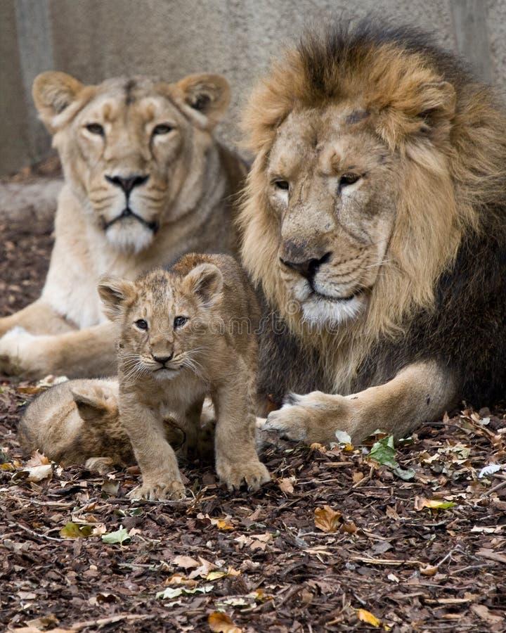 Familia de león fotos de archivo