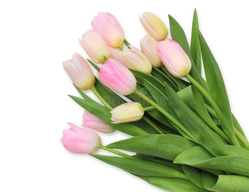 Familia de lirio hermosa de los tulipanes, Liliaceae aislado en el fondo blanco, incluyendo la trayectoria de recortes sin la som fotografía de archivo libre de regalías