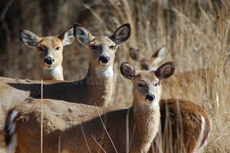 Familia de los ciervos foto de archivo